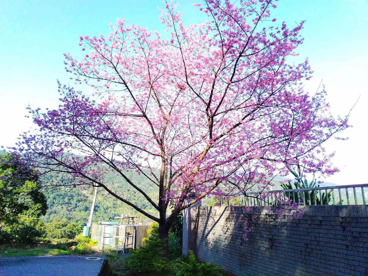 大林里的櫻花盛開(圖片來源:坪林區公所)