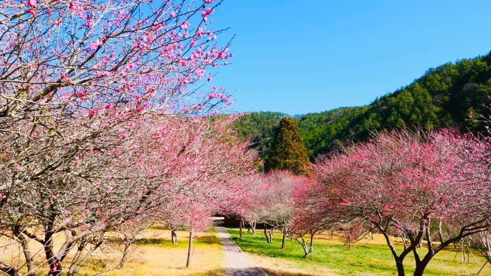 武陵農場南谷旅服中心前的梅花園及桃花莊旁,已經看得到粉嫩梅花的蹤跡。圖/武陵農場臉書粉絲專頁