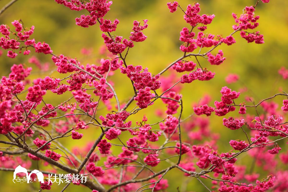 棲蘭 達漾咖啡後方山坡櫻花林
