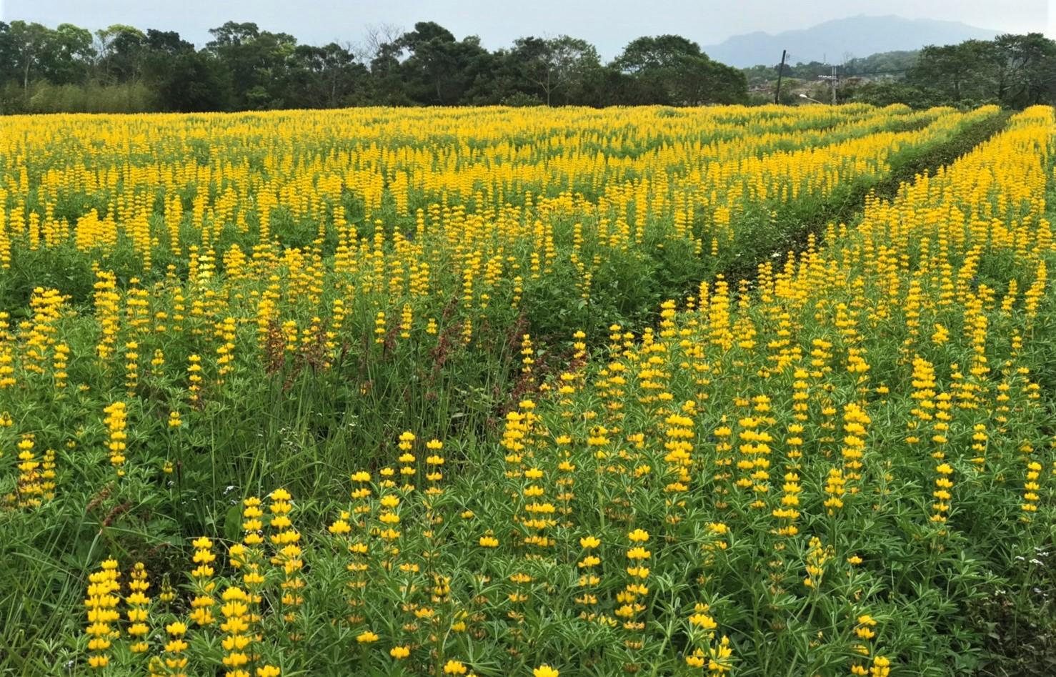 苗栗市茶文化園區種植金黃花海面積廣達9公頃,讓人恣意穿梭其中,輕易拍出意境美照。圖/行政院農業委員會水土保持局