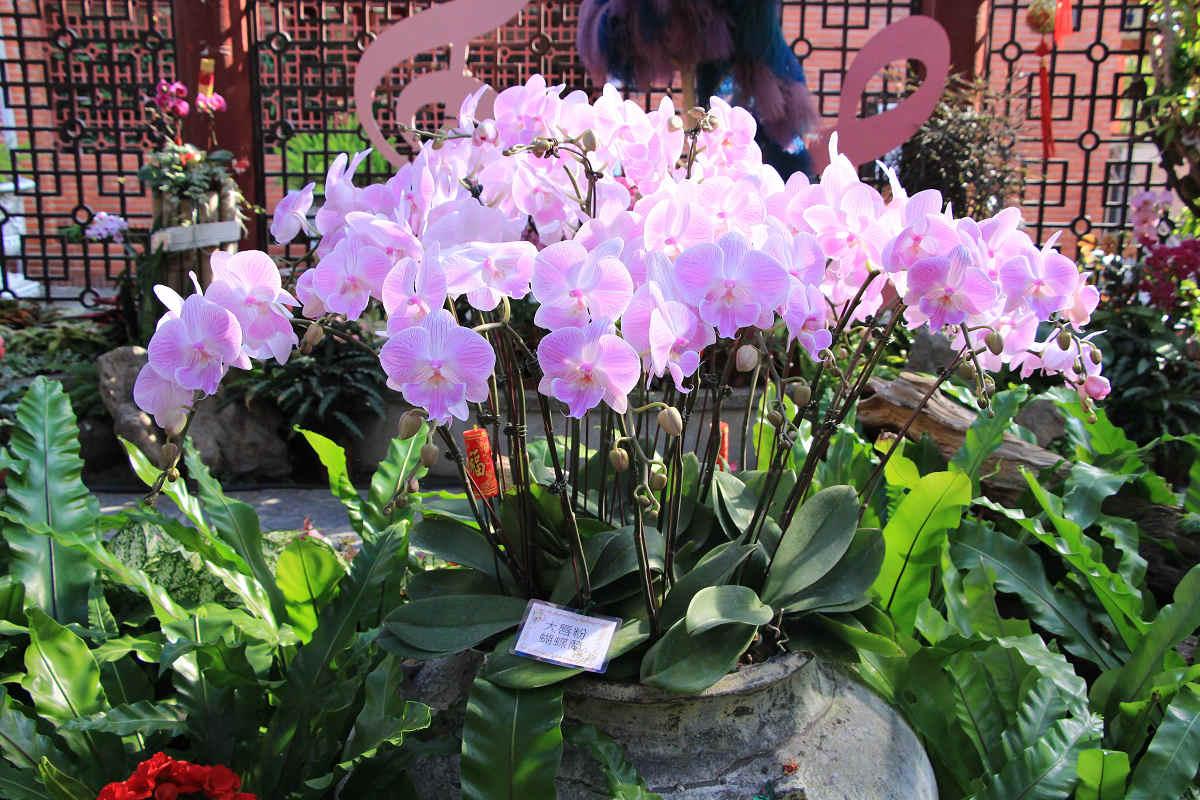唇瓣色彩變化多端的大唇粉蝴蝶蘭(圖片來源:台北市政府工務局公園路燈工程管理處)