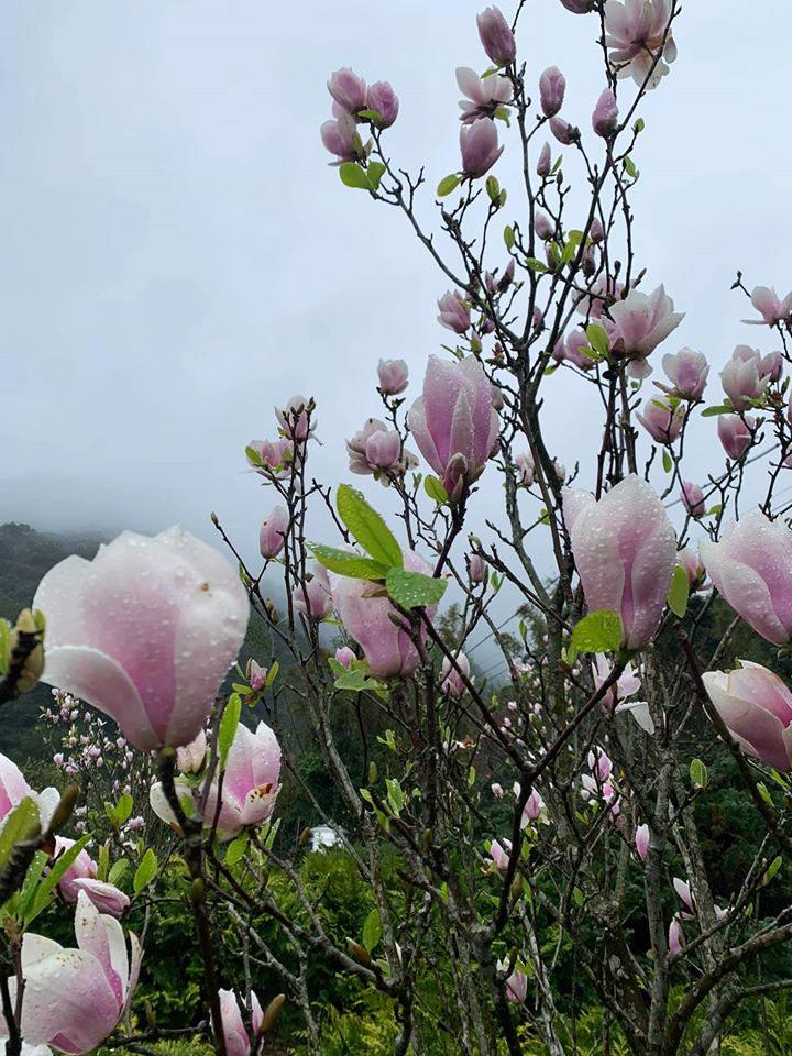 木蓮花姿態挺立朝向天空綻放(圖片來源:新北市政府)