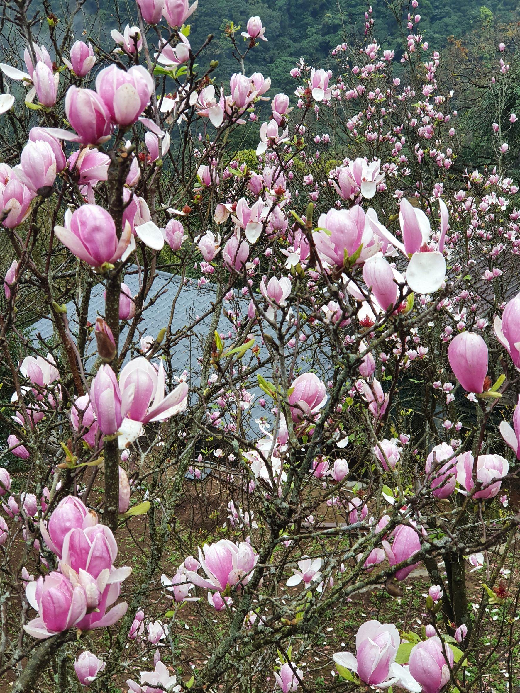 楓樹湖木蓮花花況(圖片來源:新北市政府)