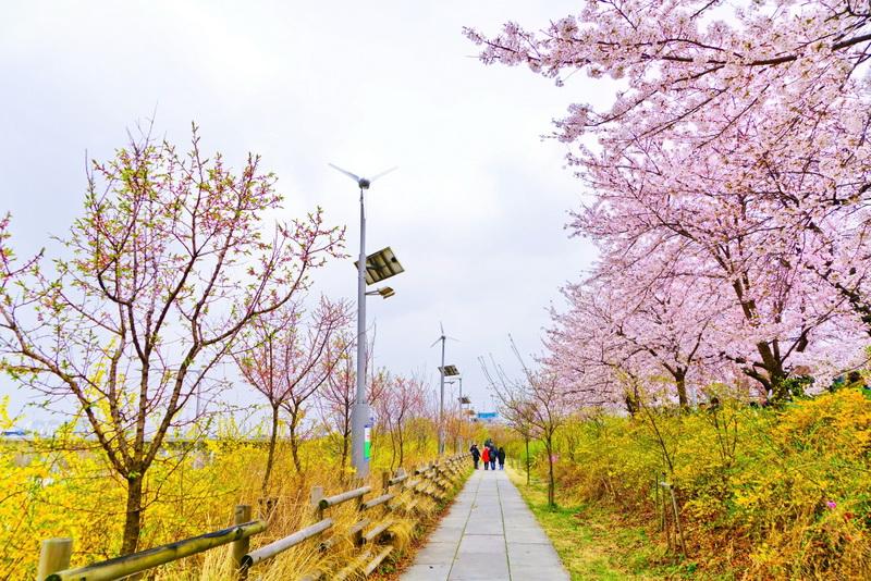 圖/走在韓國汝矣島公園,藍色天空與粉嫩櫻花形成為美浪漫的色彩,直叫人醉心啊!