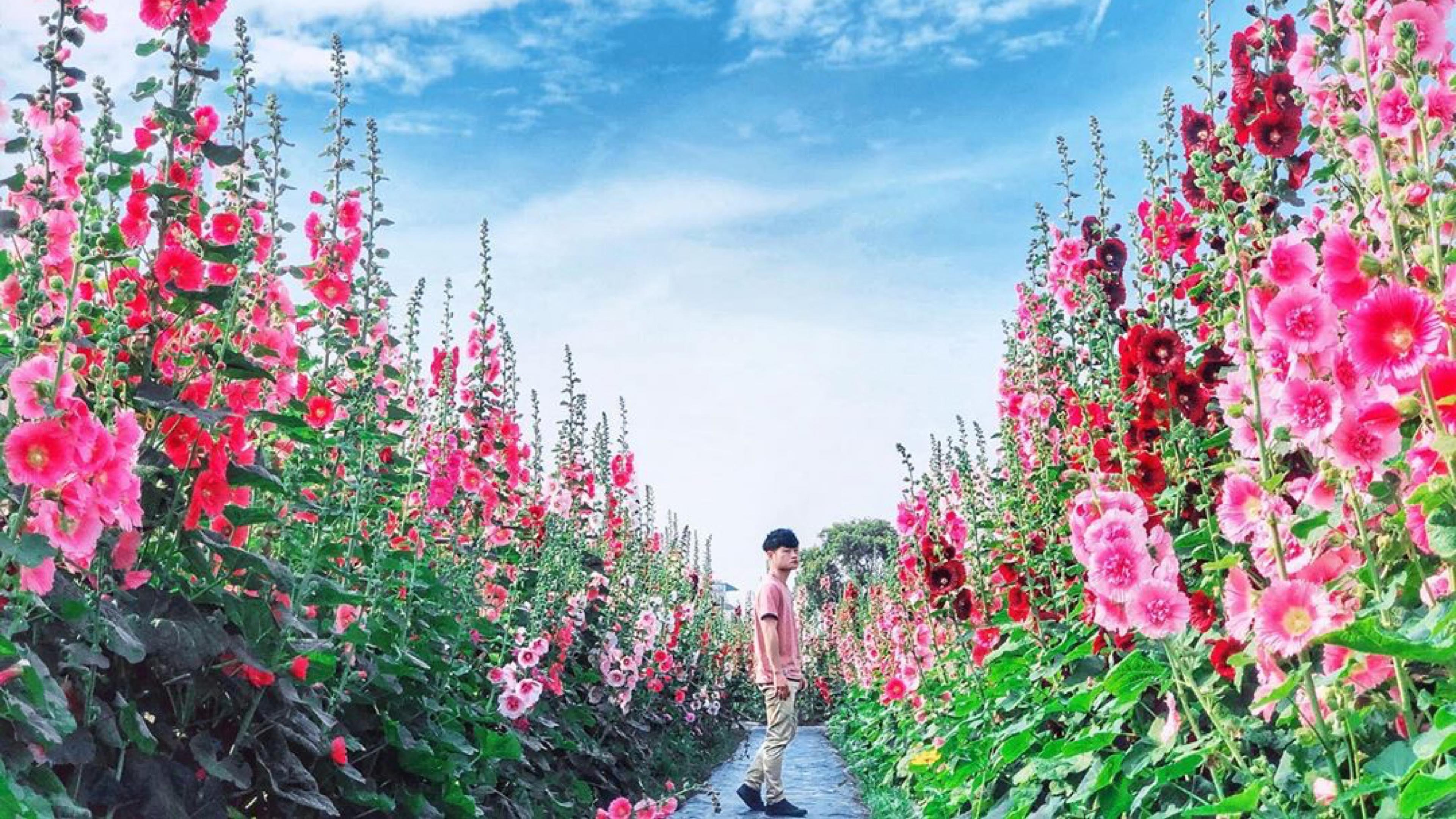 員林蜀葵花季活動取消 花田免費開放入園快拍好拍滿