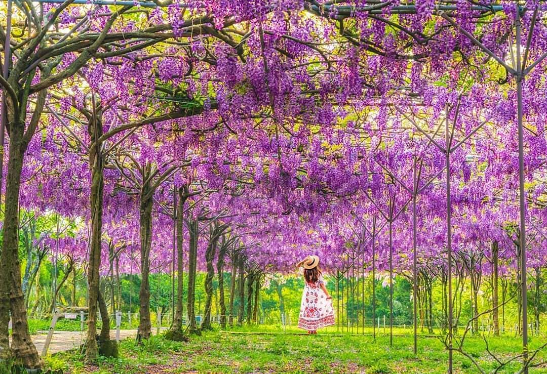 淡水紫藤花瀑大滿開!最美十天花期快把握