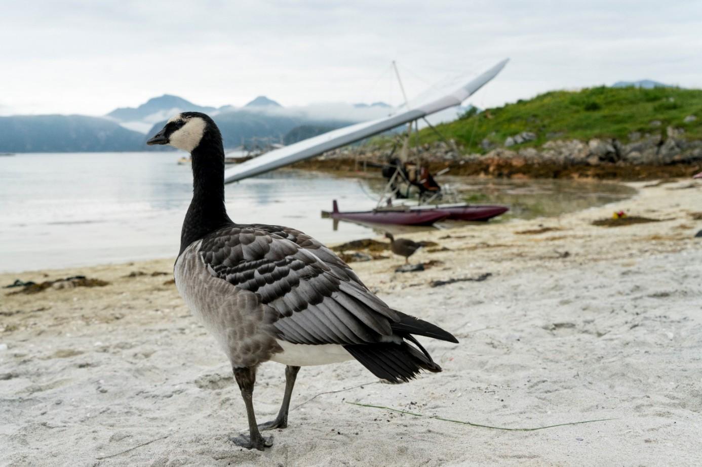 《迷雁返家路》稀有保育鳥種白頰黑雁因生物天性特殊幼鳥存活率低