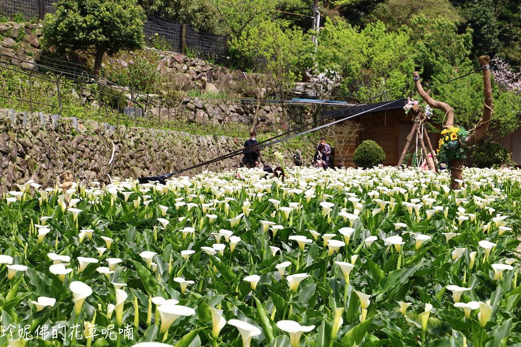 北投|名陽匍休閒農莊賞海芋