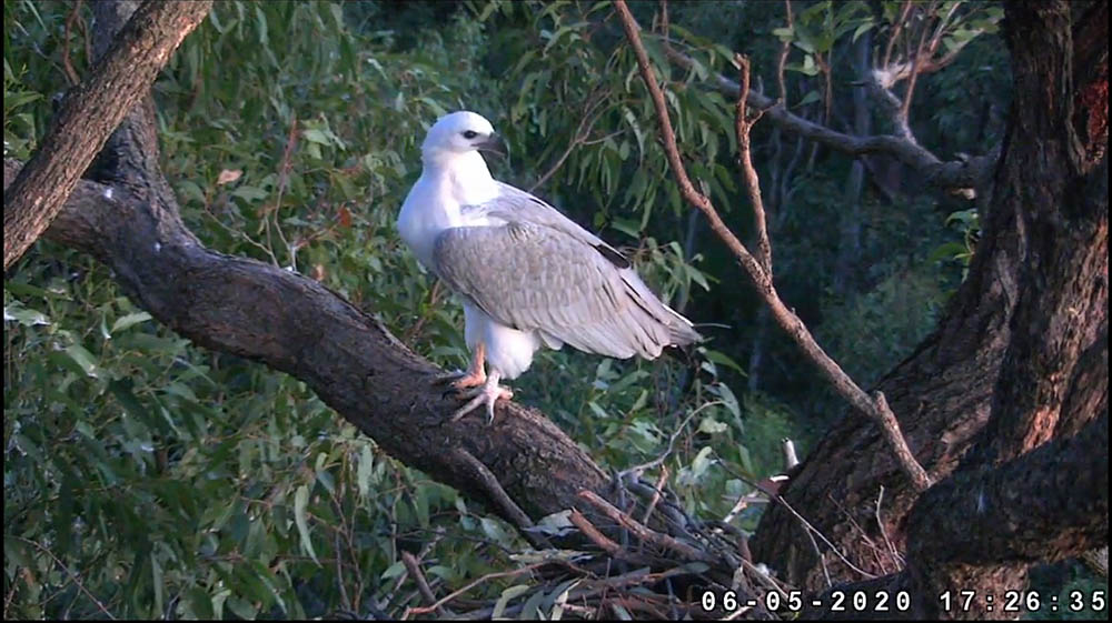 「Sydney White-bellied Sea-Eagle Live Stream」直播影片(圖片來源: birdlife.org.au/visit-us/discovery-centre/eagle-cam)