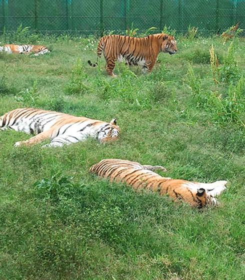 六福村老虎 (圖片來源:大興旅行社)