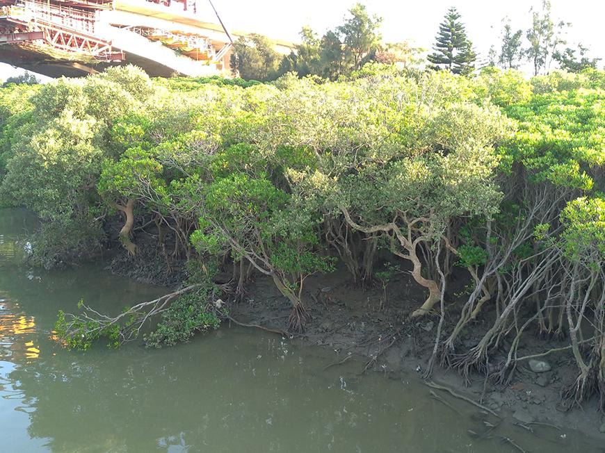 新豐紅樹林 (圖片來源:大興旅行社)