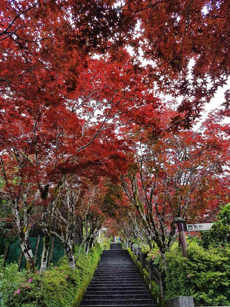 太平山中央階梯紫葉槭 (圖片來源:羅東林區管理處)