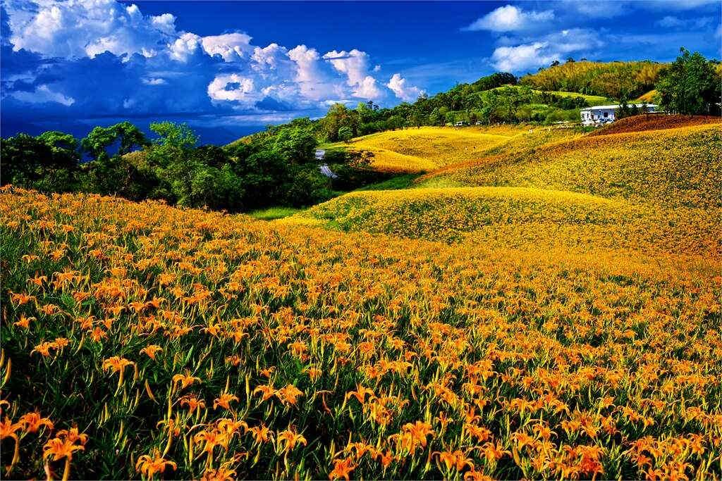 赤科山金針花季(圖片來源:花東縱谷國家風景區)