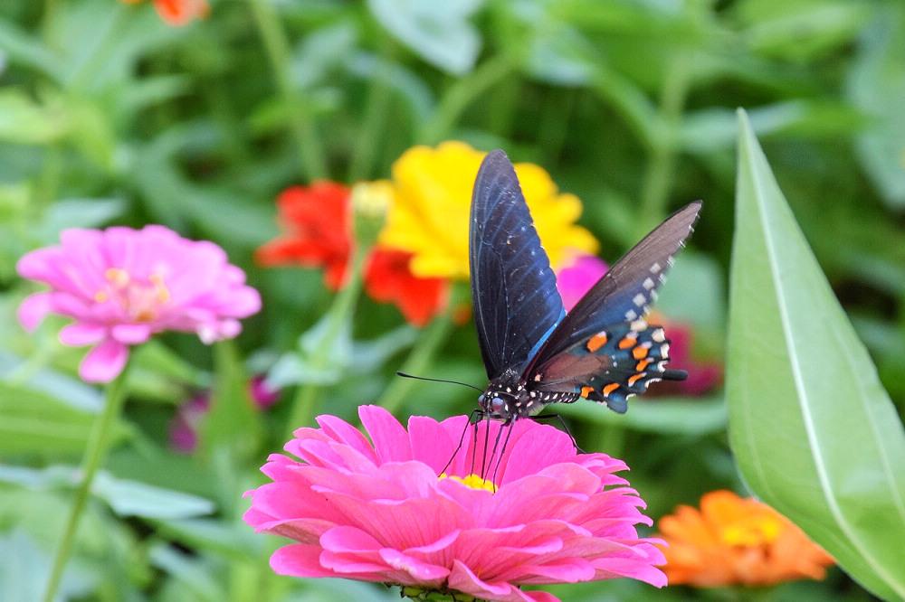 百日草(Photo Credit: cristinaMeade @pixabay.com, License CC0,圖片來源:https://pixabay.com/zh/photos/dahlia-flower-butterfly-bloom-3809308/)