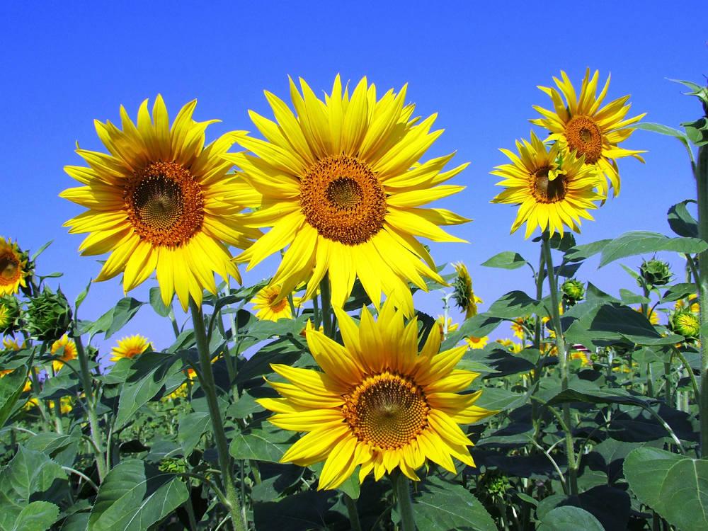 向日葵(Photo Credit: Vijayanarasimha @pixabay.com, License CC0,圖片來源:https://pixabay.com/zh/photos/sunflowers-sunflower-yellow-petal-268015/)