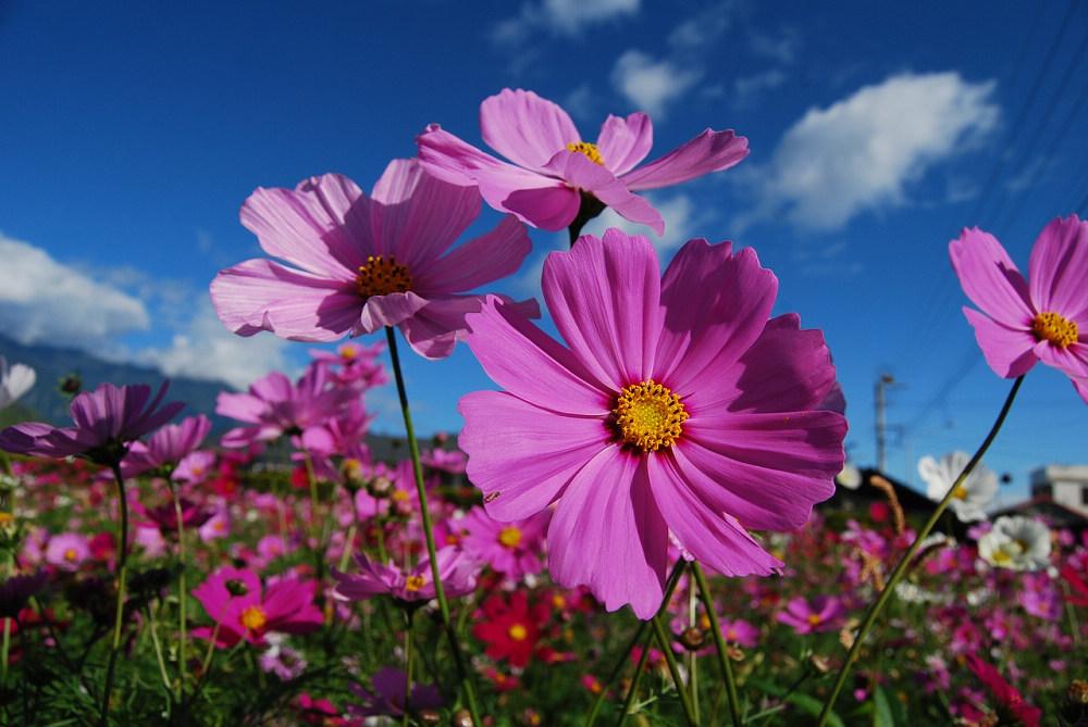 大波斯菊(Photo Credit: joycehu314 @pixabay.com, License CC0,圖片來源:https://pixabay.com/zh/photos/cosmos-flower-purple-flowers-2280144/)